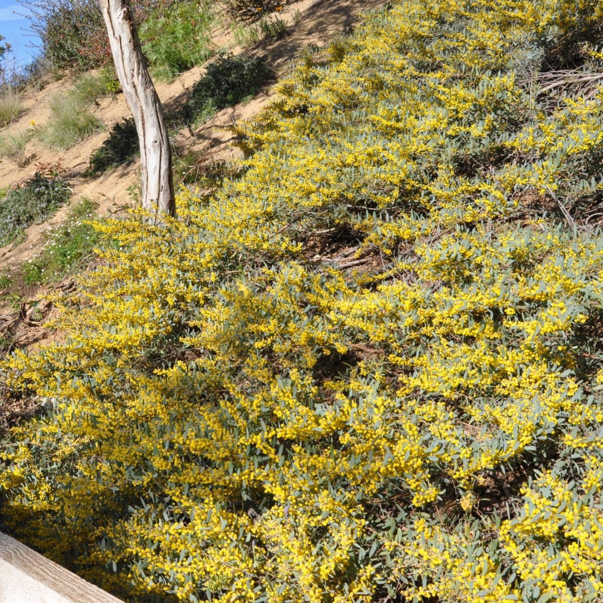 Acacia Redolens Vivero Pullally