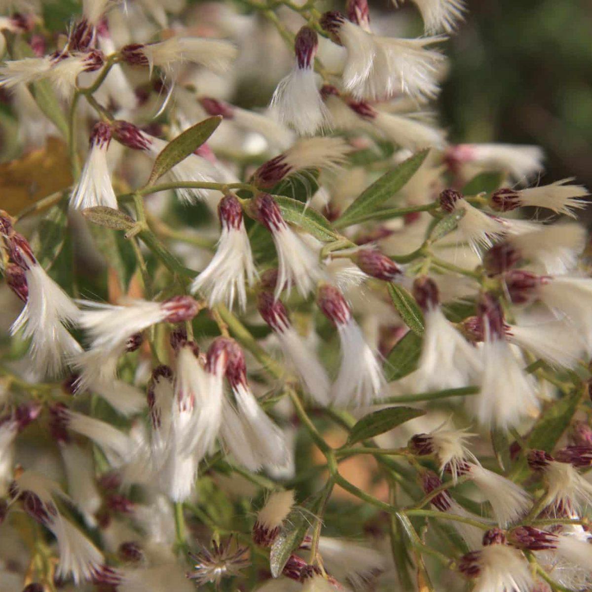 Bacharis halimifolia 1