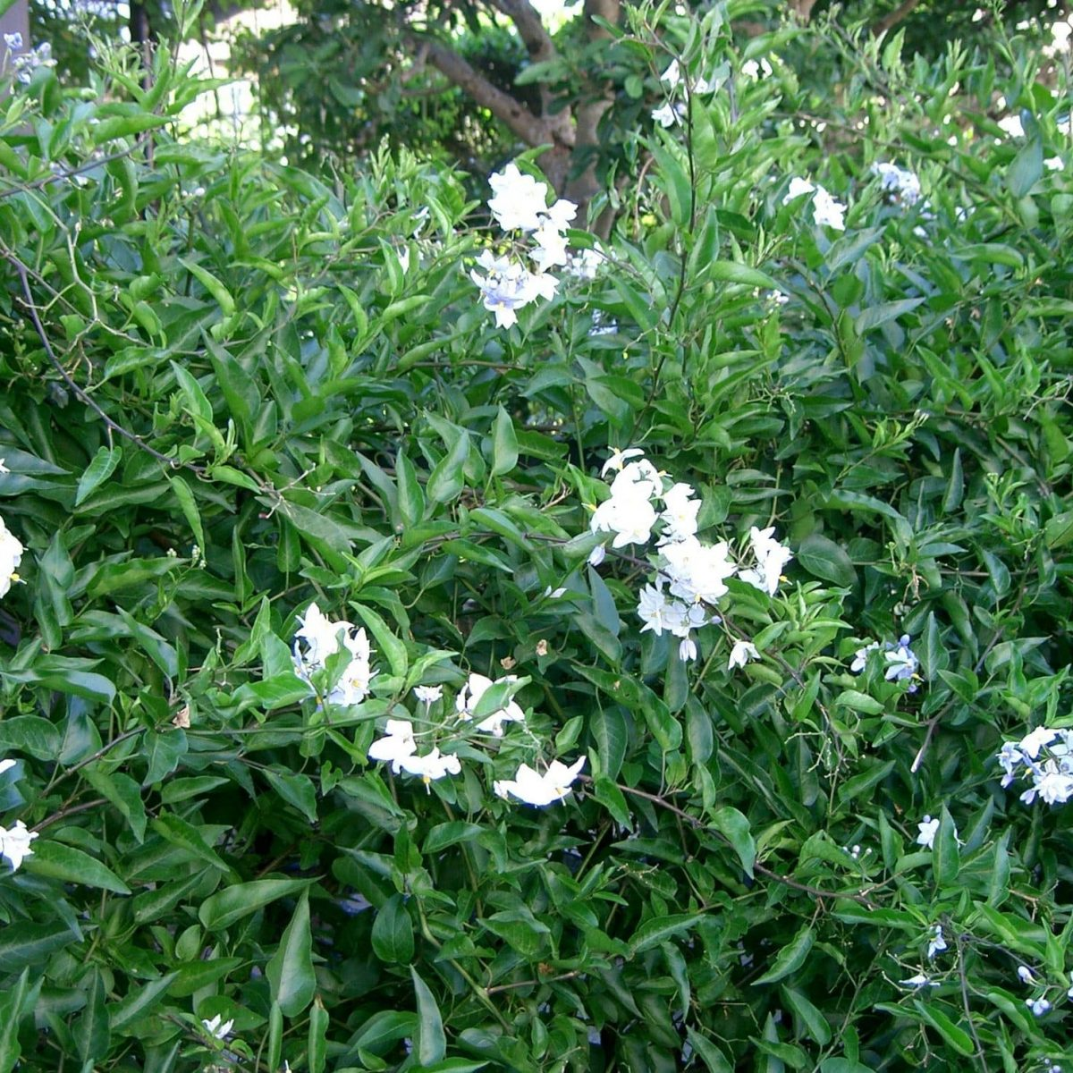 Solanum_jasminoides 1